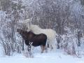 Bill disher Albino Moose 2