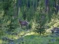 D Ellis Elk 2