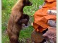 cinnamon black bear 2
